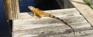 Iguanas Removal in Wilton Manors