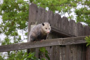 possum on the fence