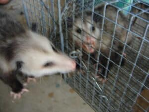 Parkland Possums Removal Services