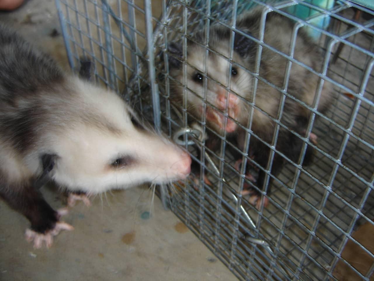Opossum disease