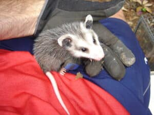 Possums Removal Services South Florida