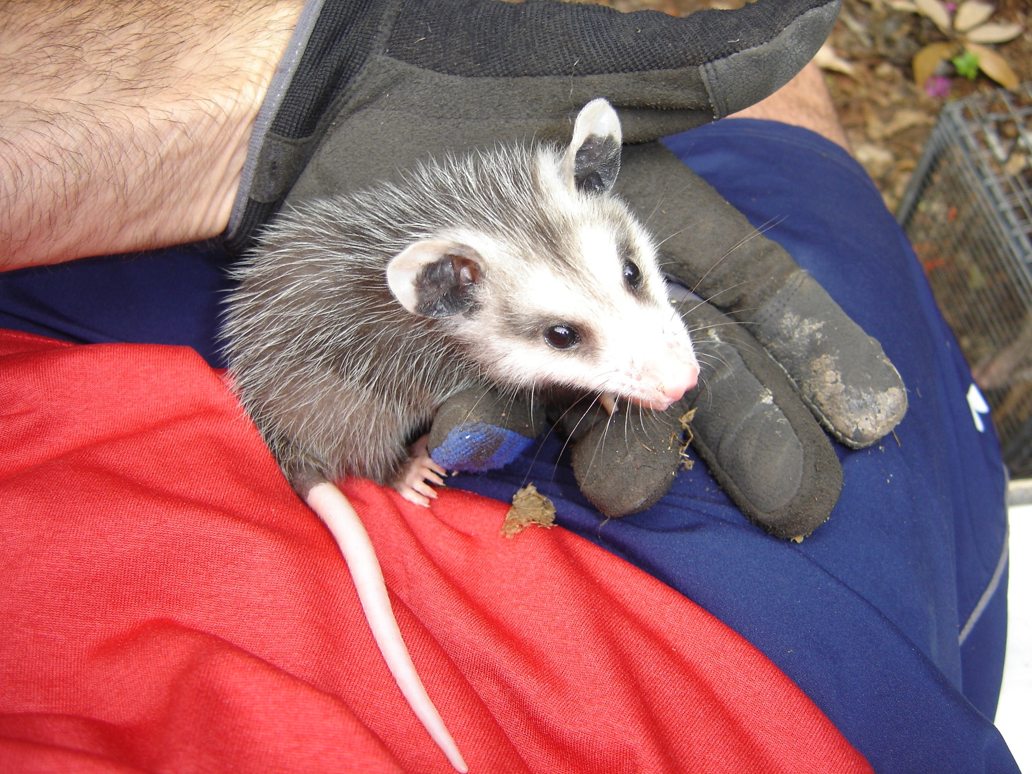 How Much Does Opossum Removal Cost?