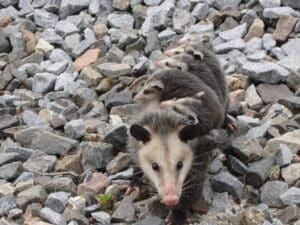 Possums Removal Services in Parkland