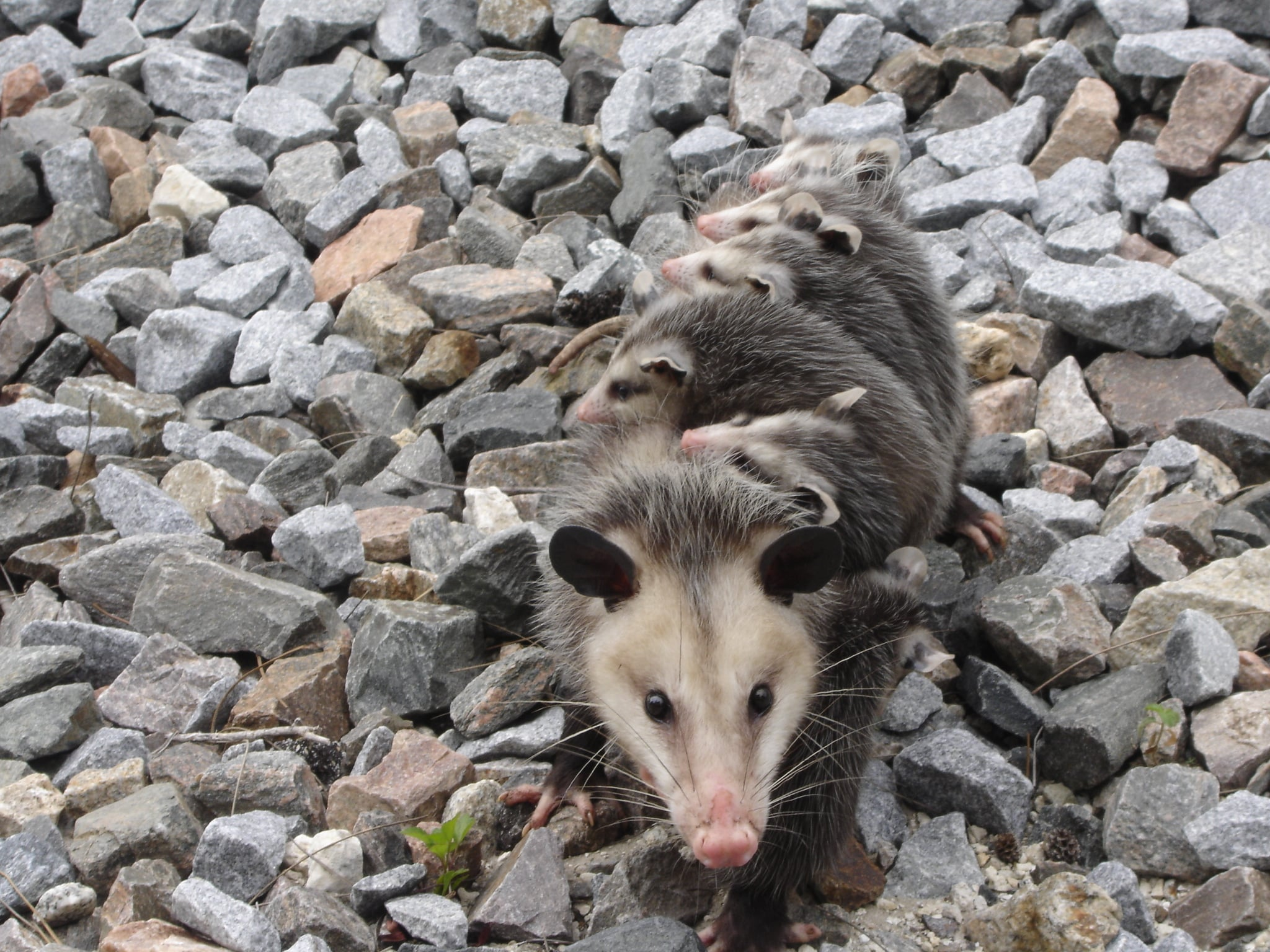 Get rid of Opossums
