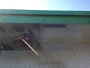 Raccoon in Trap Under Eave