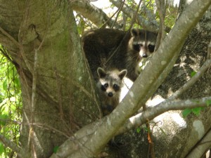 Raccoon Removal near me - Wildlife Removal Services