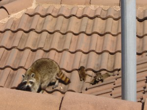 Raccoon family on Roof