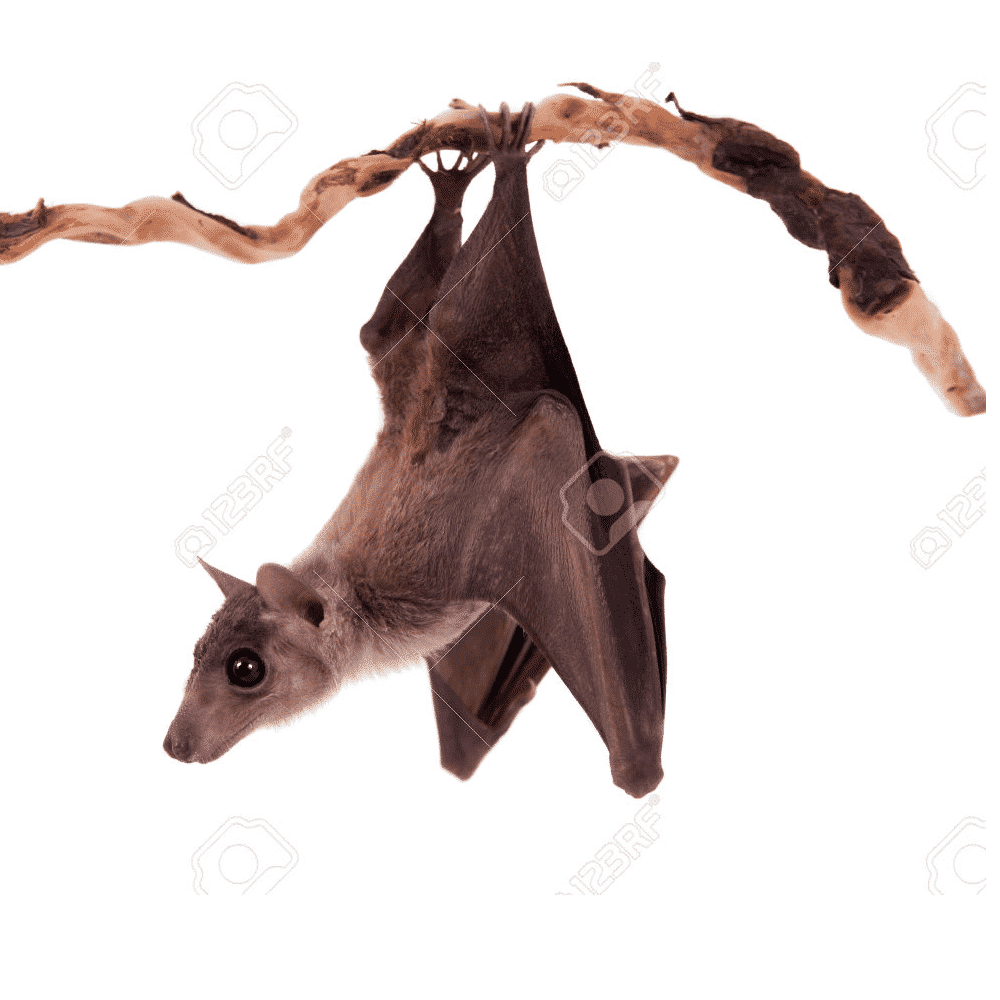 bat removal by wildlife removal services in boca raton florida