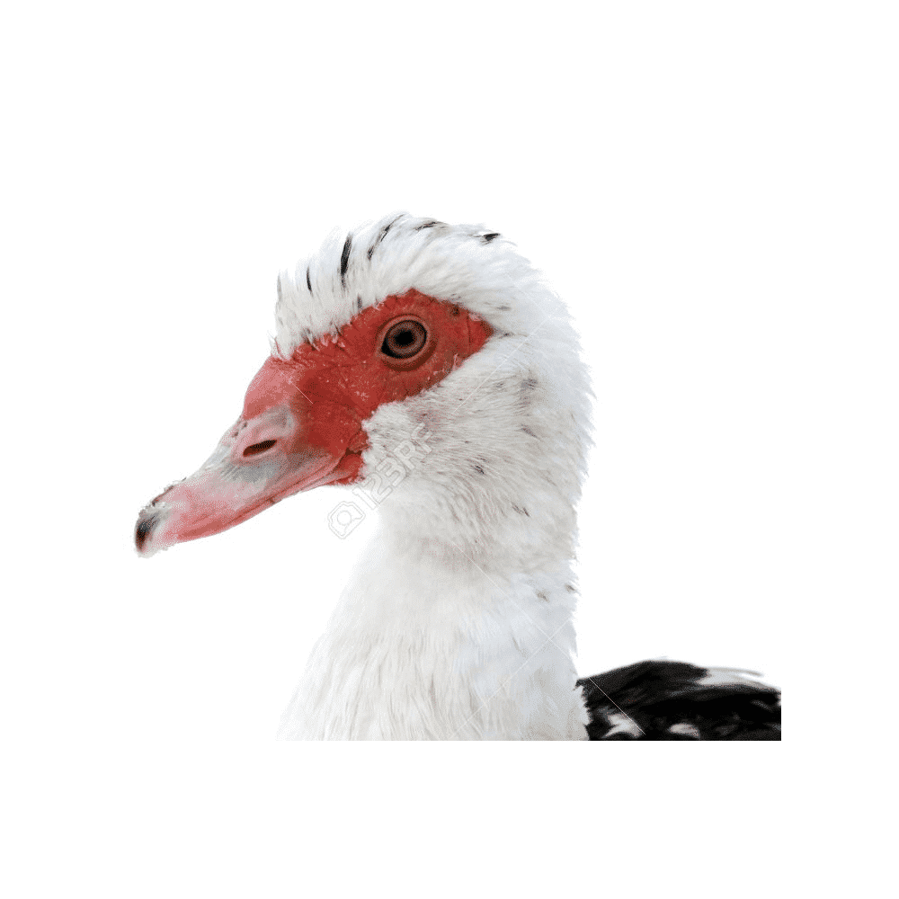 duck removal by wildlife removal services in boca raton florida