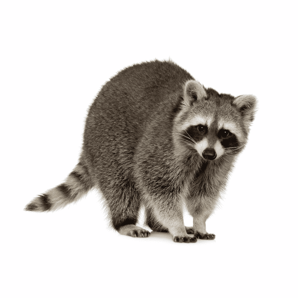 raccoon removal by wildlife removal services in boca raton florida