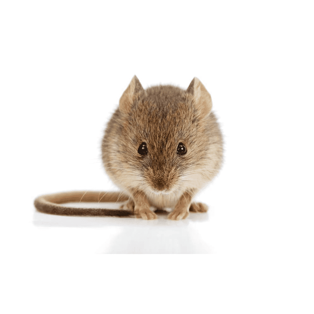 rat removal by wildlife removal services in boca raton florida