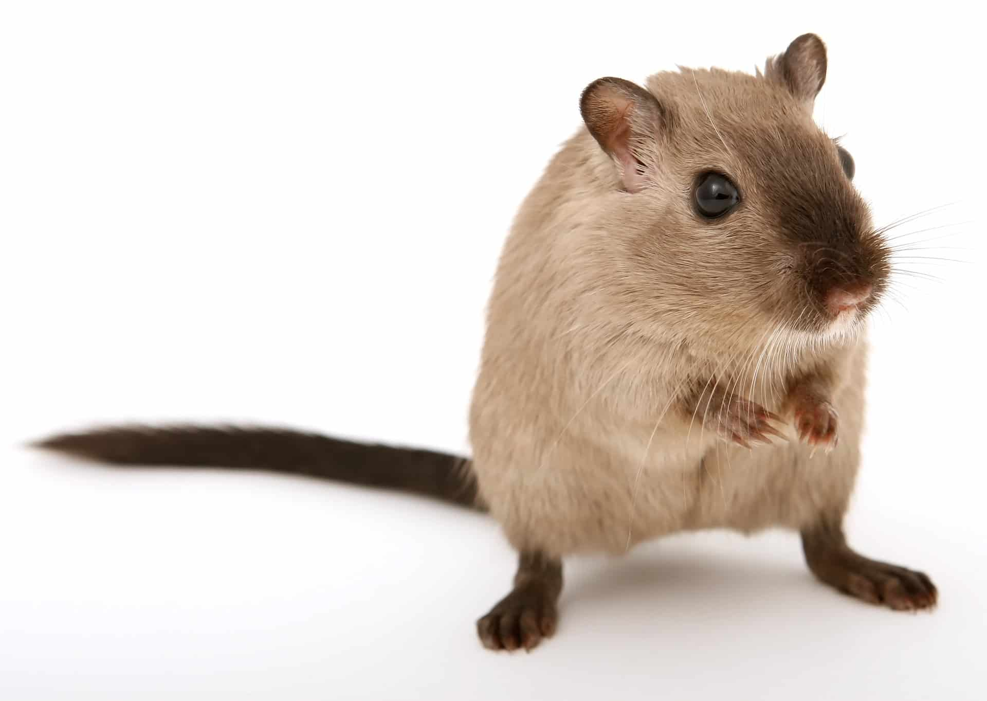 Rat Removal Wildlife Removal Services Of South Florida