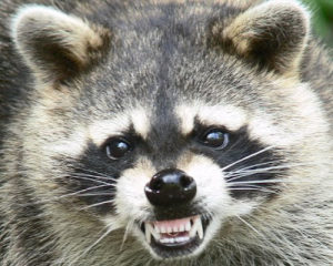 Raccoon Removal in Parkland