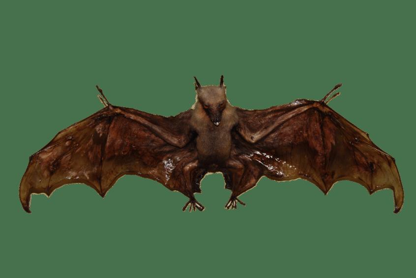 bats removal in boca raton