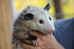 Opossum Removal in Hollywood