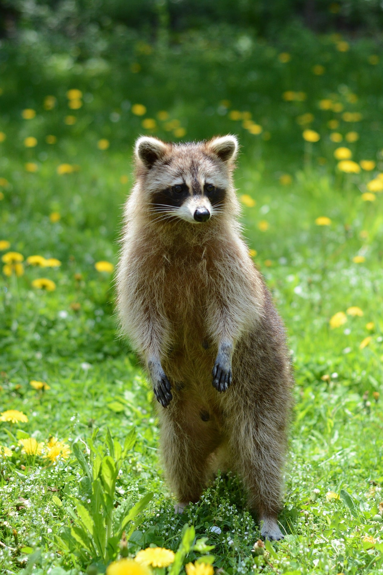 How much does racoon removal cost?