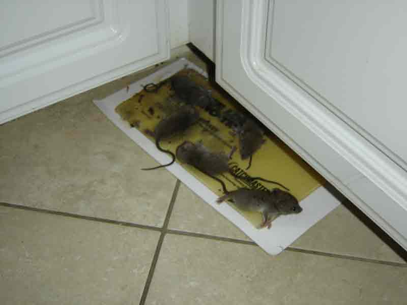 Rat Removal Near Me Wildlife Removal Services