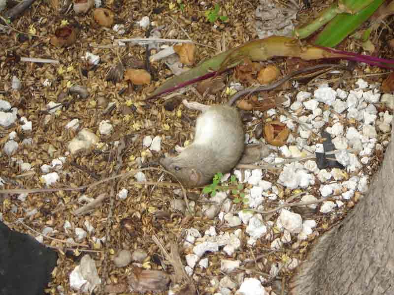 Dead Rat Removal Boca Raton