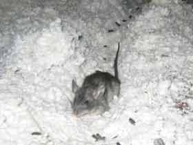 Rats Destroying Attic