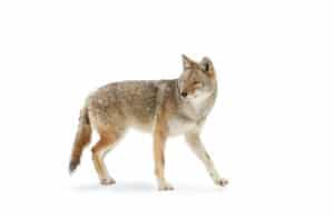 Coyote removal in Davie