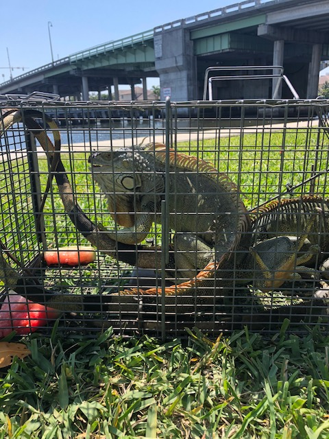 Fort Lauderdale Iguana Removal