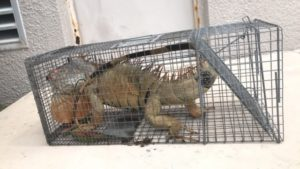 Iguana Removal: We Remove Aggressive Iguanas in South Florida