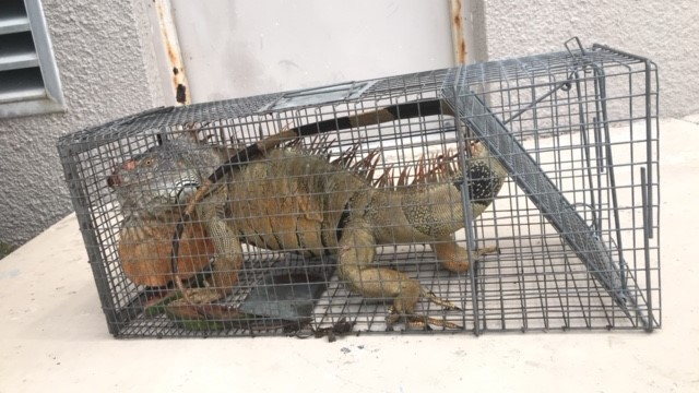 how-much-does-Iguana- removal -cost/