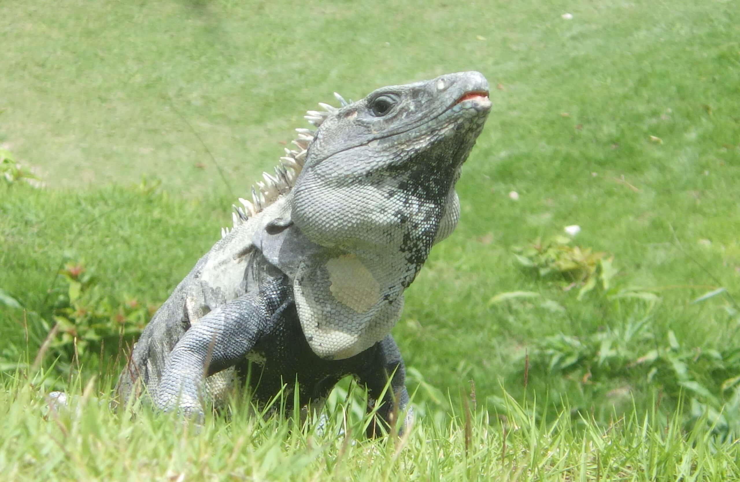 Iguana Trapper near me