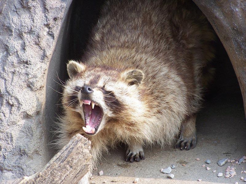raccoon noises