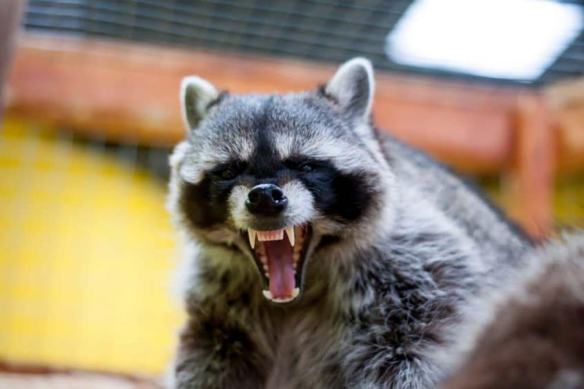 Are Raccoons Dangerous