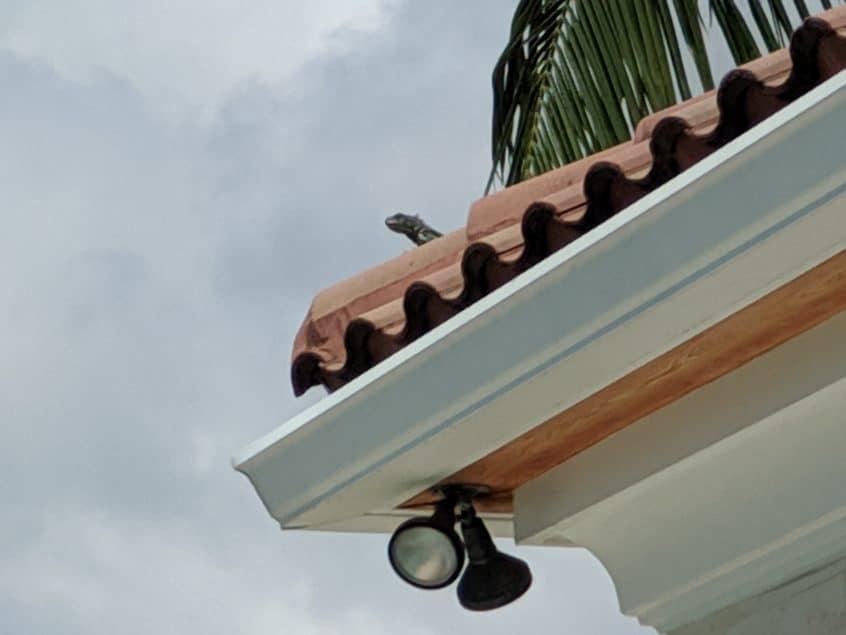iguanas in fort lauderdale