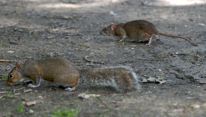 Squirrel Poop vs Rat Poop