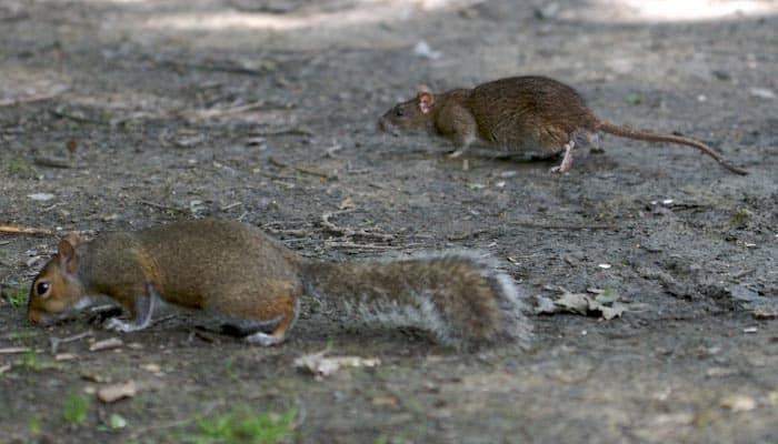 Squirrel Poop vs Rat Poop