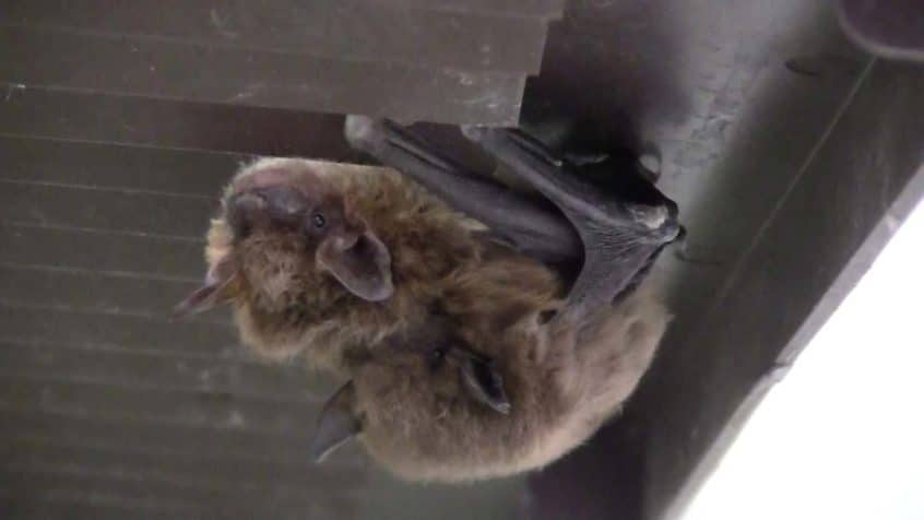 bat mating season