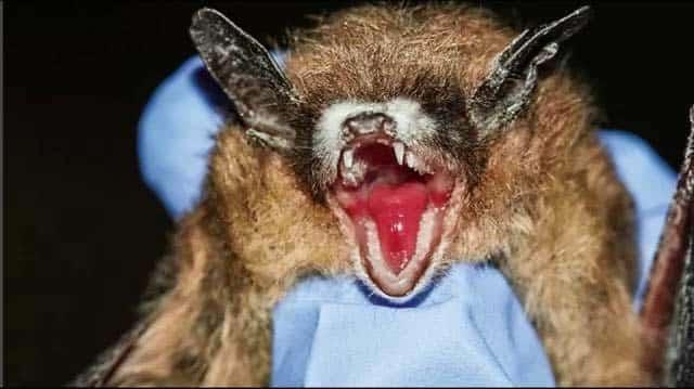 coronavirus bats