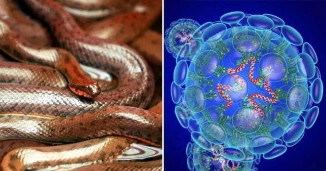 coronavirus from snakes