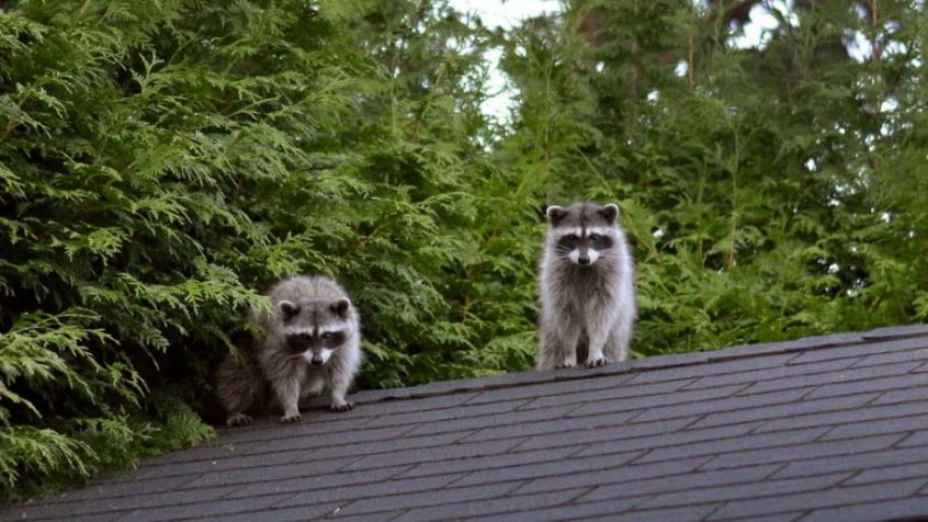 how to keep raccoons away