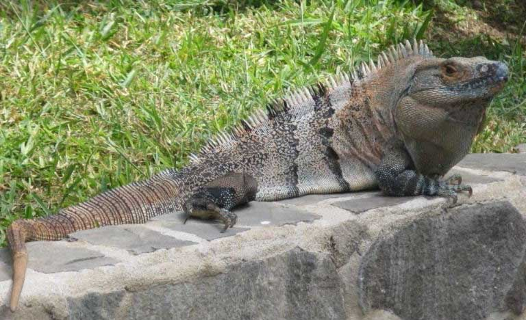 black spiny tailed iguana