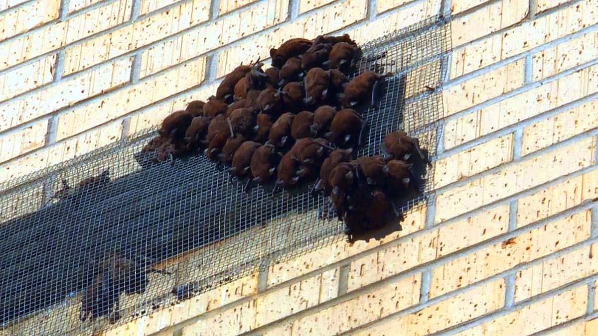 bat infestation in roof structures