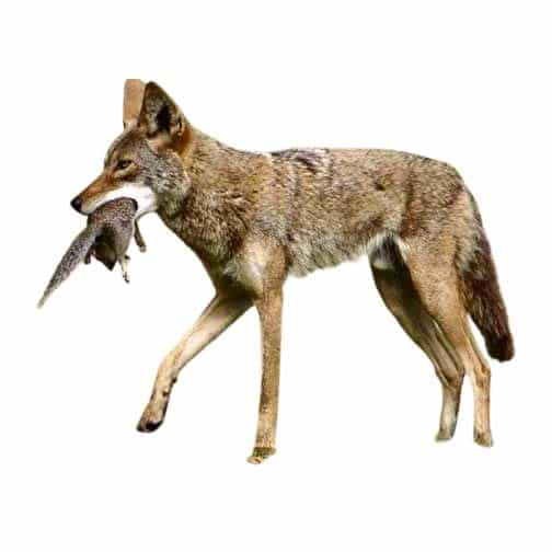 coyote removal by wildlife removal services in boca raton florida