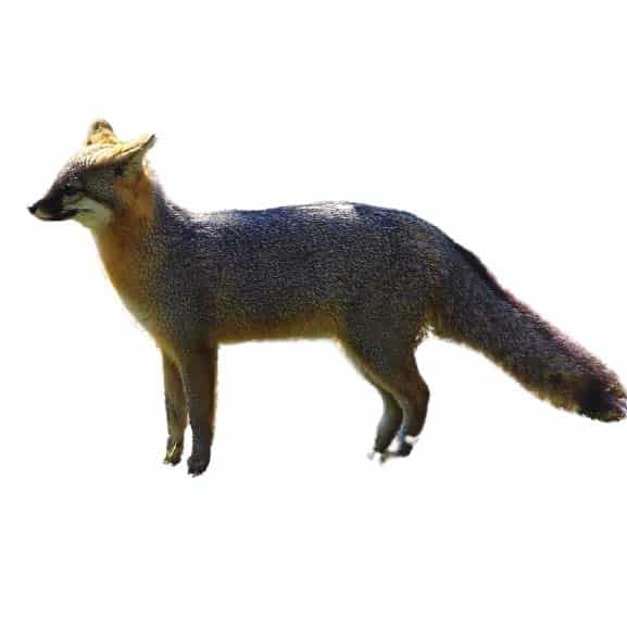 fox removal by wildlife removal services in boca raton florida