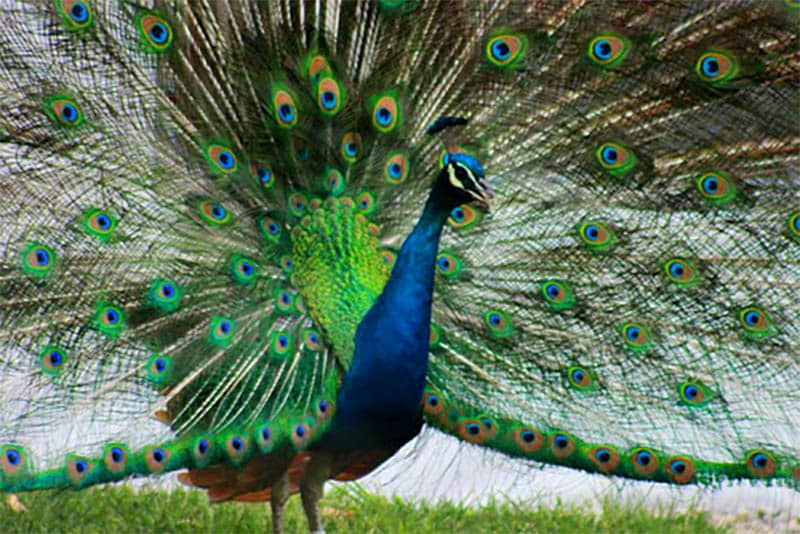 Peacock Removal Service